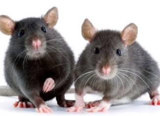 Γιατί δίνουμε σόδα στα ποντίκια;