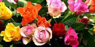 Τριανταφυλλιές με μυρωδάτα τριαντάφυλλα