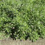 Φαρμακευτικά Φυτά της Ηπείρου (1)
