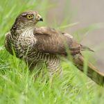 Sparrowhawk Accipiter brevipes
