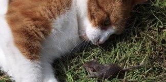 Γάτες και ποντίκια