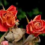 Αποξηραμένα τριαντάφυλλα