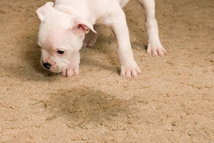 Η μοκέτα μυρίζει ούρα του σκύλου; Υπάρχει κόλπο!