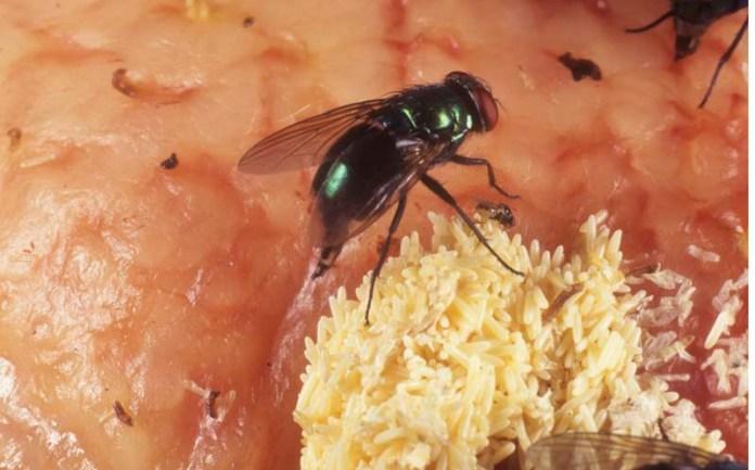 Οι μύγες γεννοβολάνε πολλά αβγά