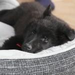 Κρεβατάκι σκύλου κατά των ψύλλων