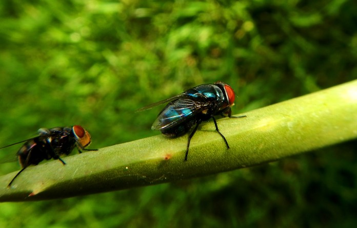 Σε τι χρησιμεύουν οι μύγες;