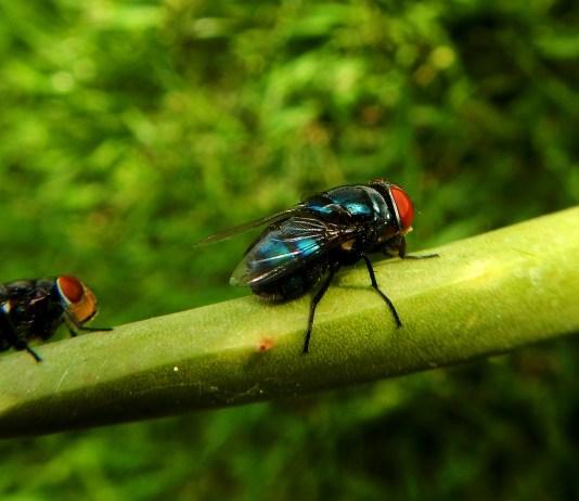 Είναι χρήσιμη η μύγα