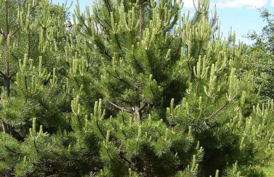 Μαυρόπευκο - Pinus nigra