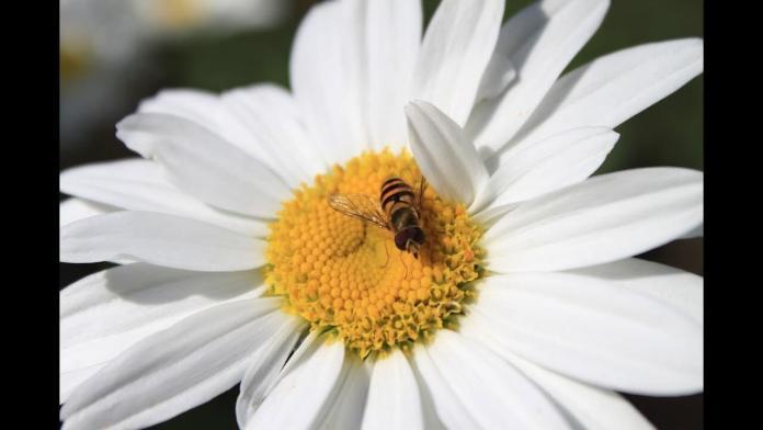 Το χαμομήλι είναι χρήσιμο για την ομορφιά και για πολλά γιατροσόφια
