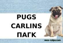 Αφιερωμένο σε όσους αγαπάνε τα αξιολάτρευτα Pug
