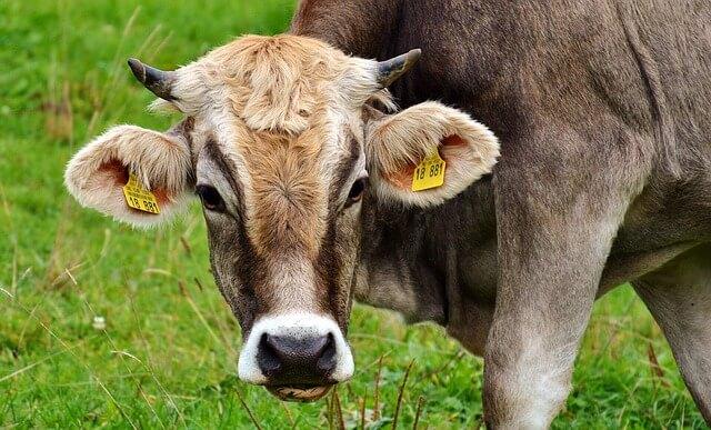 Σύγκρουση τρένου με κοπάδι αγελάδων