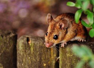Ο πιο εύκολος τρόπος να απομακρύνεις τα ποντίκια