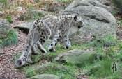 Snowleopard (Uncia uncia)