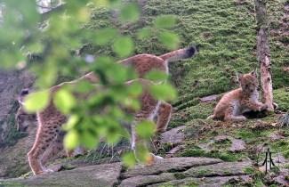 Eurasian lynx (Lynx lynx) with cub