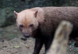 Randers Regnskov: Bush dog (Speothos venaticus)