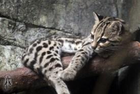 Randers Regnskov; Margay cat (Leopardus wiedii)