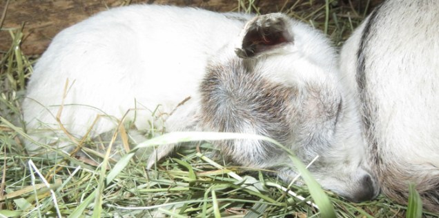 Born yesterday ... another dwarf goat