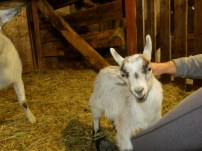Cinnamon's doelings have now decided that humans are great for cuddles and back scratches. What cuties! These two are available as well. Need a beautiful pair of little goaties?