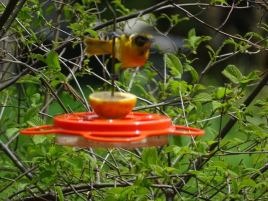 Female (out of focus) Baltimore Oriole