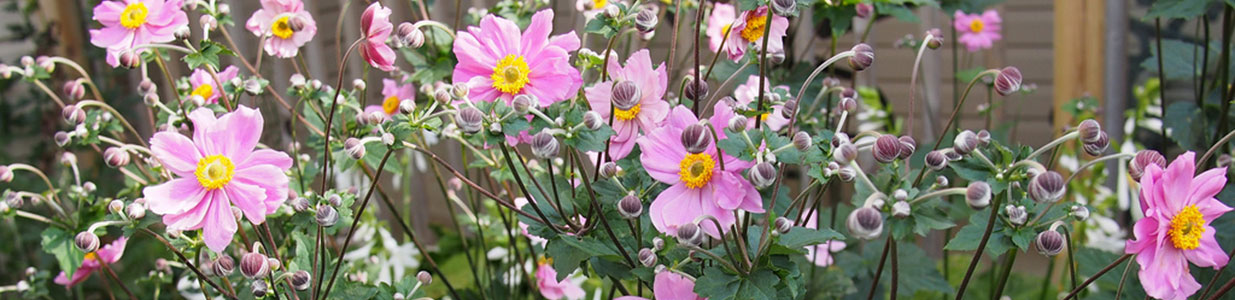 Anemone in full bloom