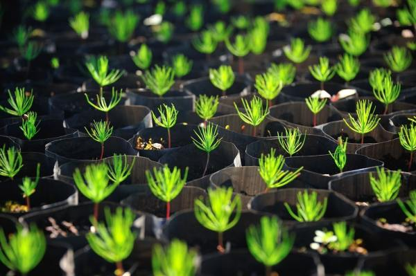 Up close view of Christmas tree seedlings