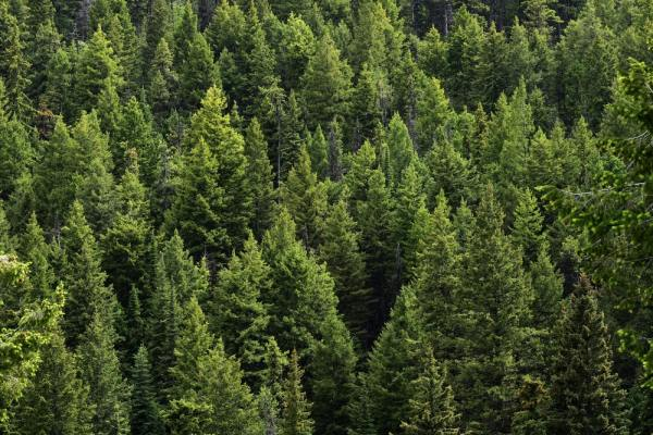A sea of evergreen trees