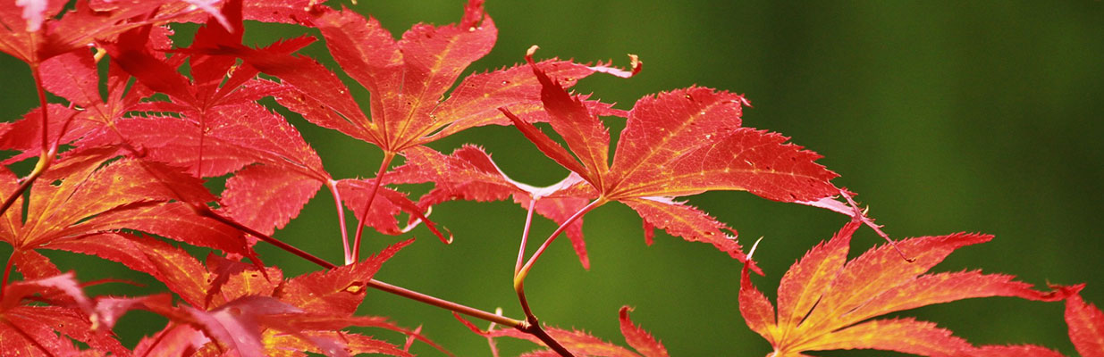 Fall color on a Japanese maple