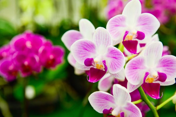 Phalaenopsis orchids in bloom