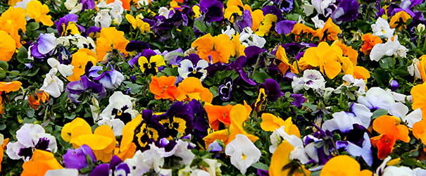 A field of multi-colored pansies