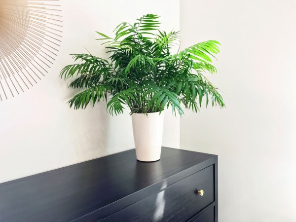 Parlor palm potted on a black chest of drawers