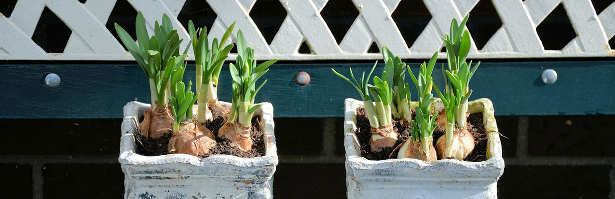 Sprouting bulbs in pots