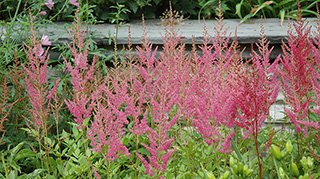 Visions in Pink Astilbe