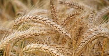 فوائد-القمح