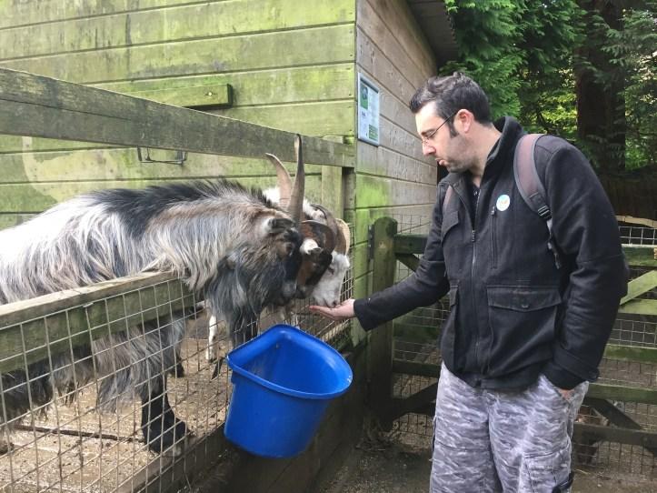 goat feeding at coombe wildlife park
