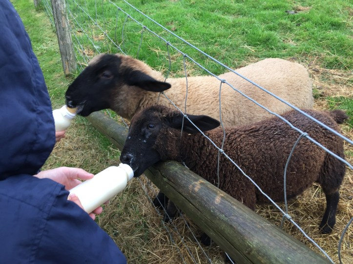 Feeding the animals at Parkers Farm Holiday Cottages & Caravans in Devon