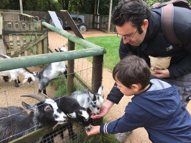 totnes rare breeds farm in devon review feeding goats