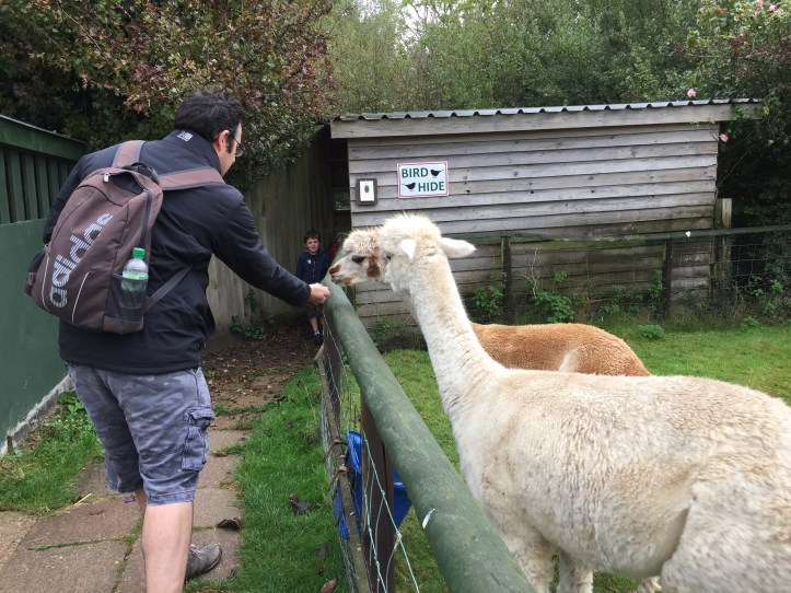 Feeding alpacas at totnes rare breeds farm in devon review