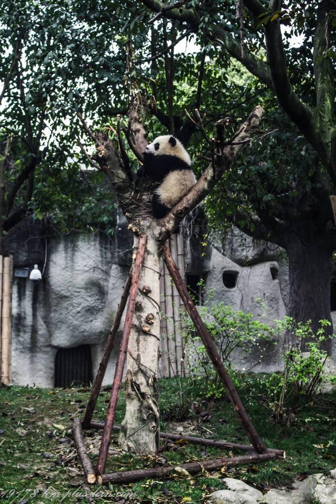 Chengdu-panda-in-tree