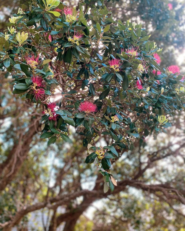 Pohutukawa in bloom