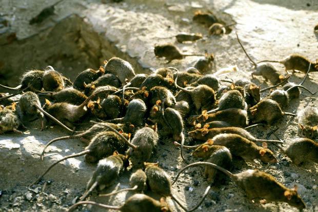 Rattenplaag