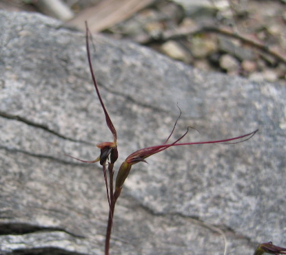 Mayfly Orchid - Blooms in September