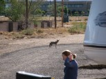 Camp Ground Coyote