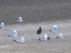 Black Skimmer & Western Gulls
