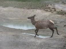 Even Elk like the Hot Springs