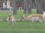 And the Antelope wil play where they please