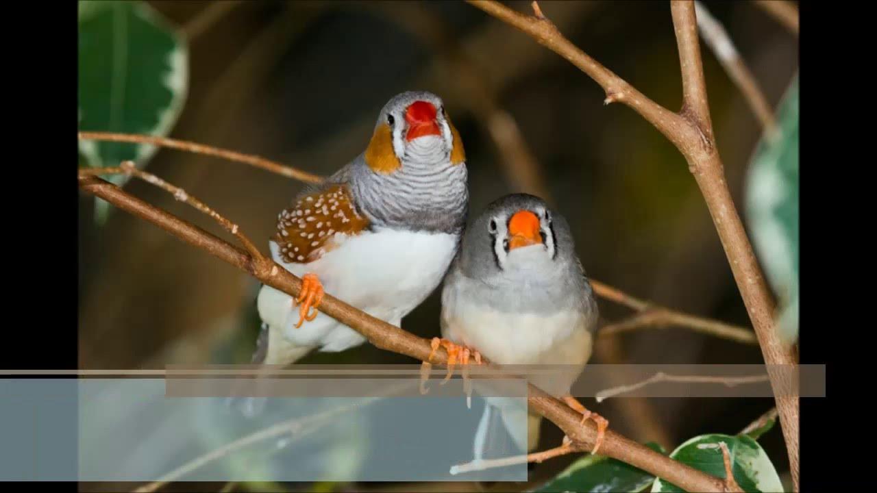 عصافير الزينة اجمل صور طيور الزينه معنى الحب