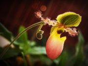 Lady's slipper orchid   flower