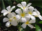 jasmine   flower name