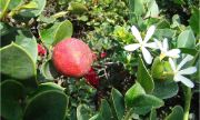 natal plum | vegetable name