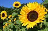 sunflower   all flower name